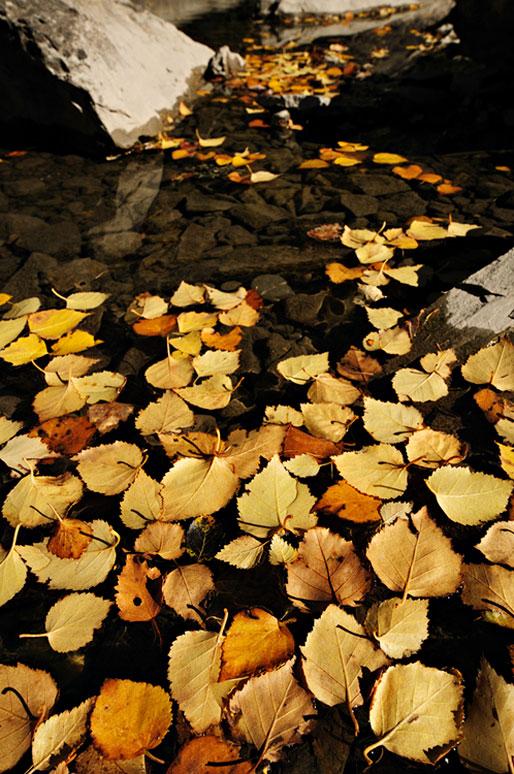 Feuilles automnales de bouleau dans une rivière, Valais, Suisse