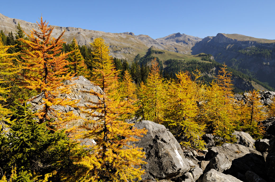 Mélèzes en automne dans le canton du Valais, Suisse