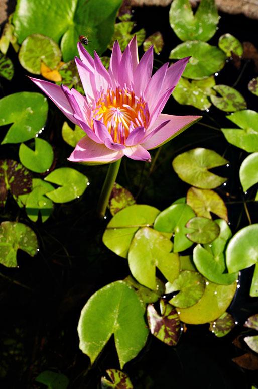 Fleur de Lotus et nénuphars au Wat Pho de Bangkok, Thaïlande