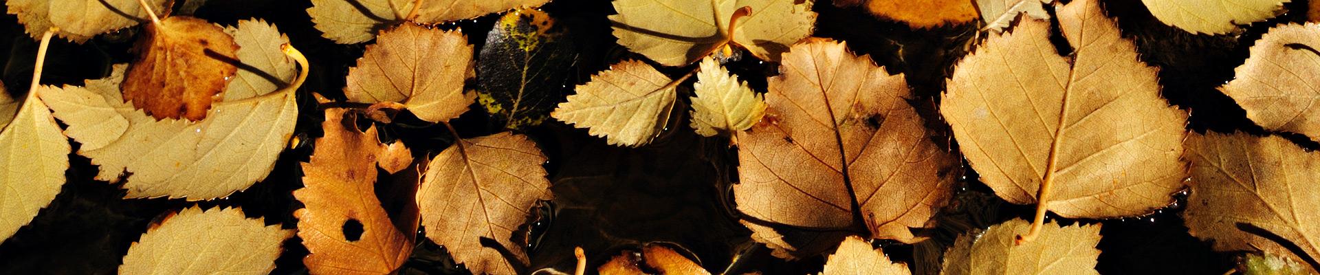 Top image feuilles d'automne à Derborence, Suisse