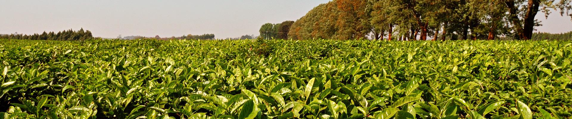 Top image thé à Thyolo au Malawi