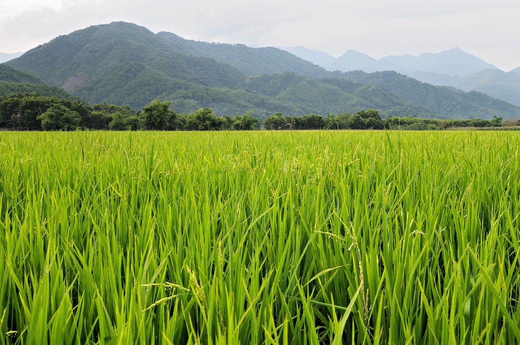 Rizière et montagnes au nord du pays, Vietnam