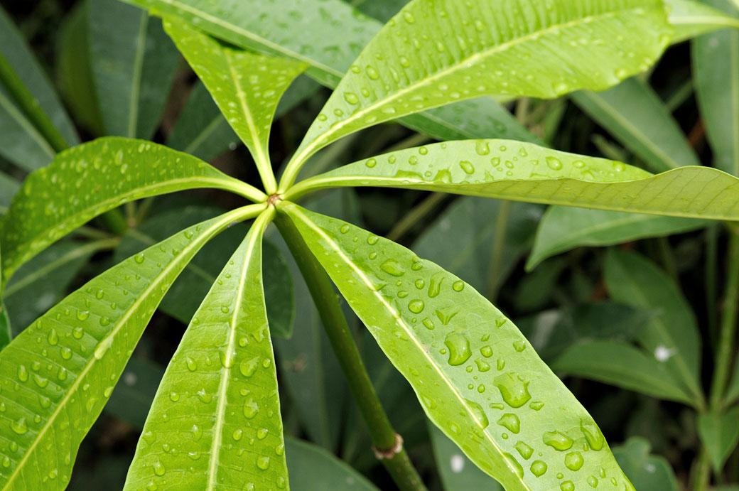 Gouttes d'eau sur une plante, Vietnam