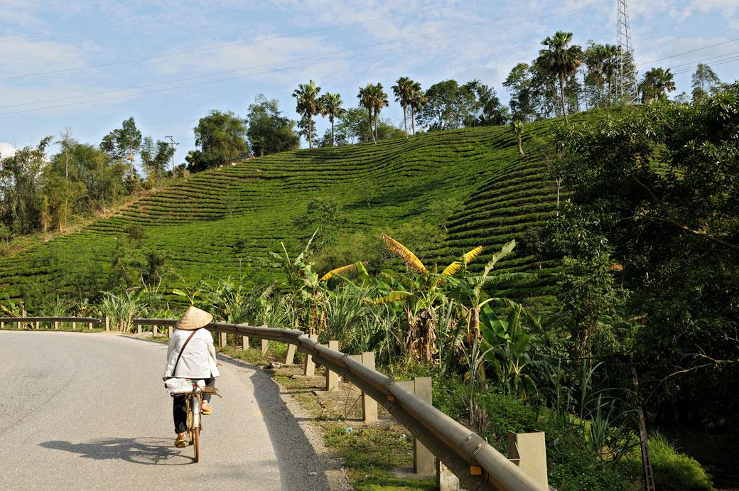 Plantation de thé au nord du pays, Vietnam