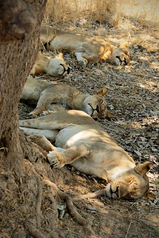Lionnes assoupies à l'ombre d'un arbre, Zambie