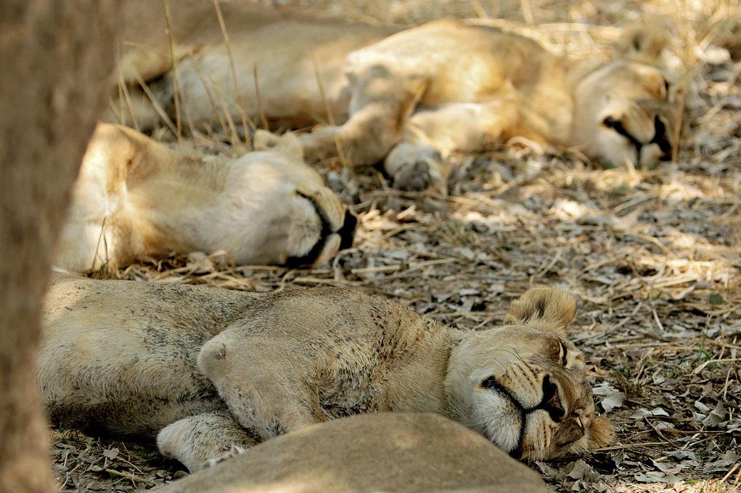 Lionnes en pleine sieste à l'ombre, Zambie