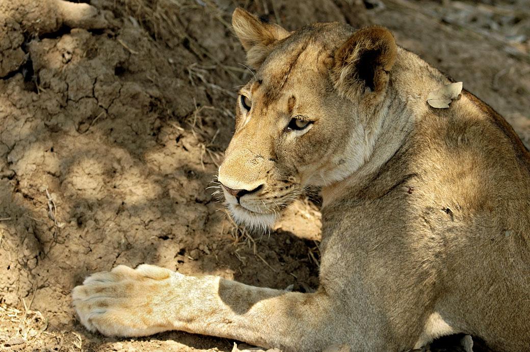 Lionne dans le parc national du Sud Luangwa, Zambie