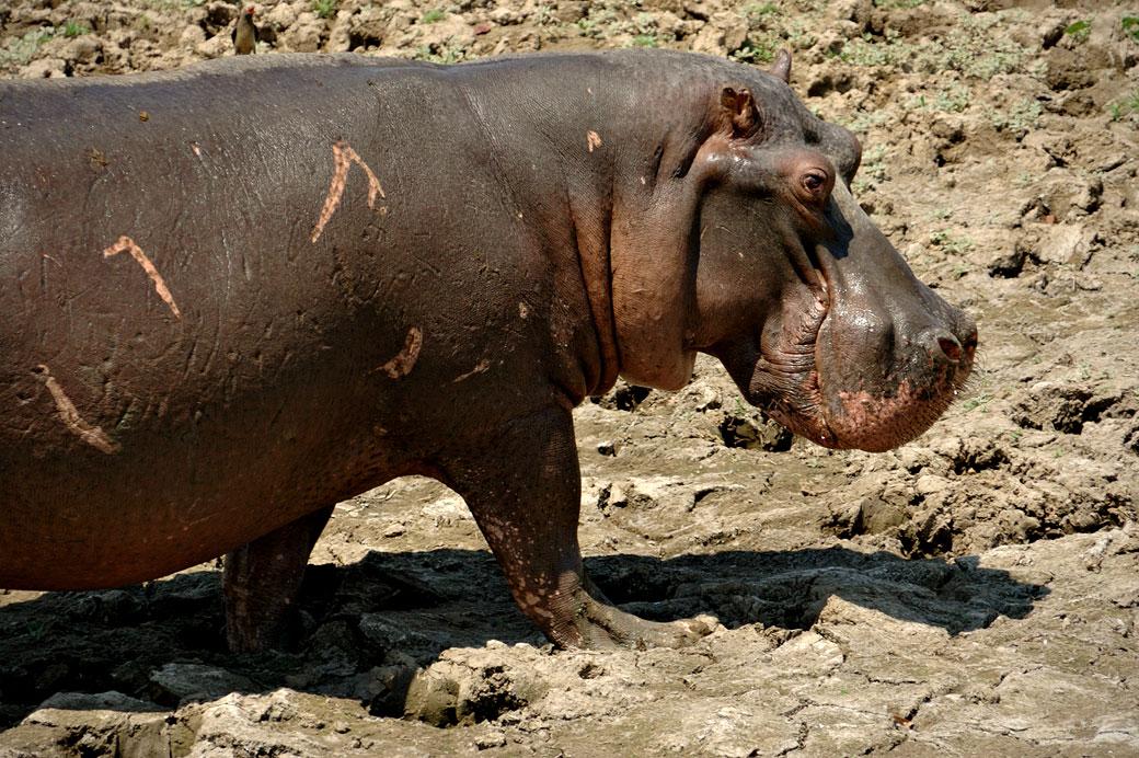 Hippopotame dans la boue, Zambie