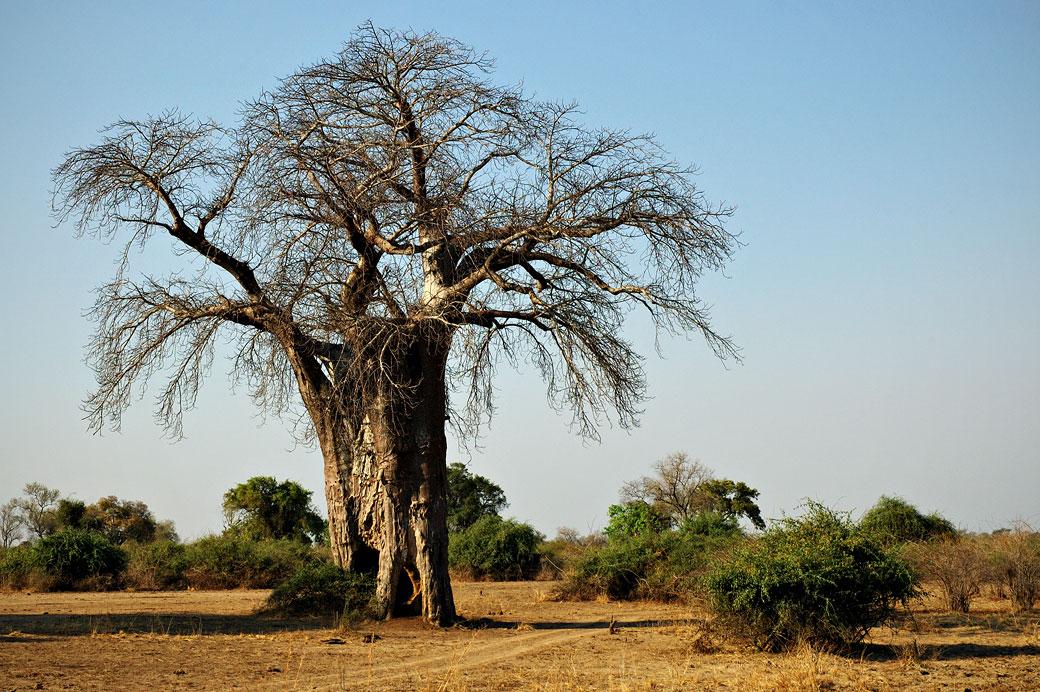 Baobab dans la savane, Zambie