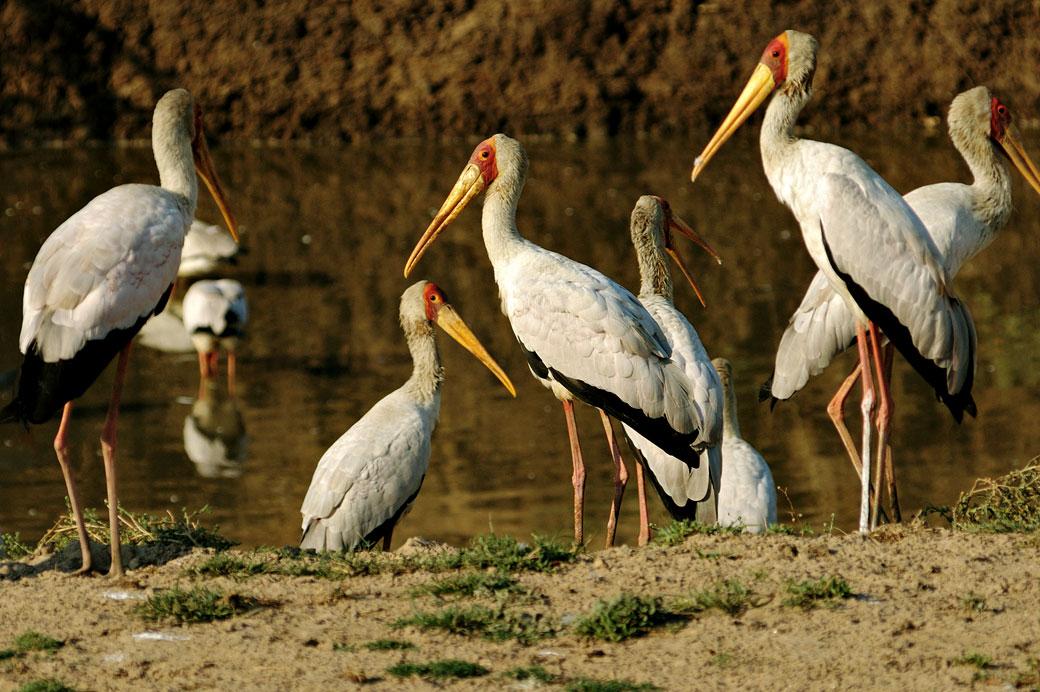 Tantale ibis au bord de l'eau, Zambie