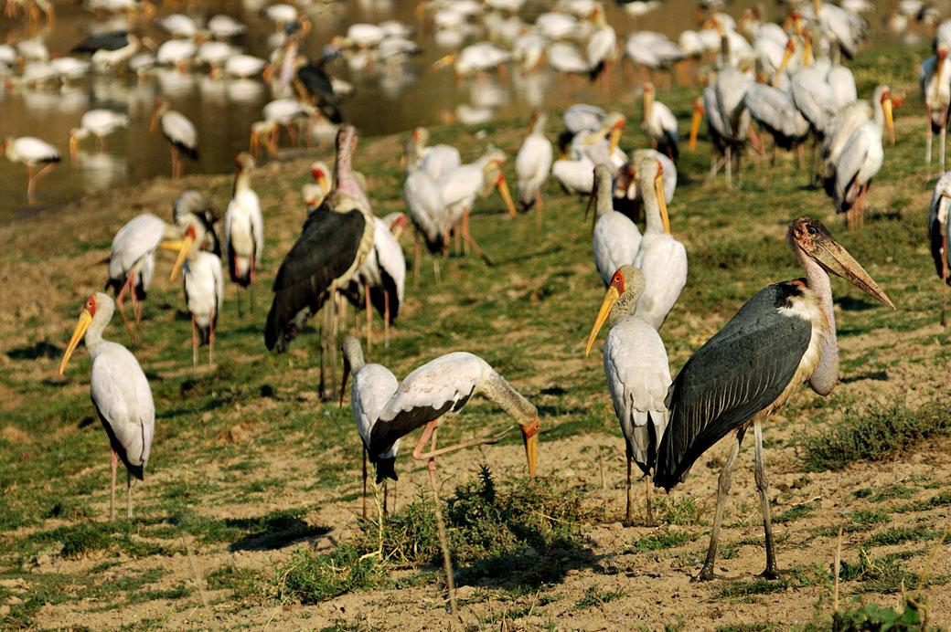 Tantale ibis et marabouts, Zambie