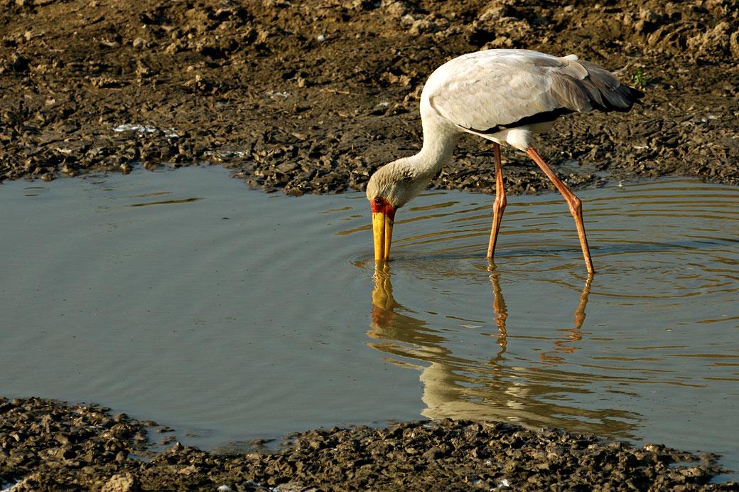 Tantale ibis dans un point d'eau, Zambie