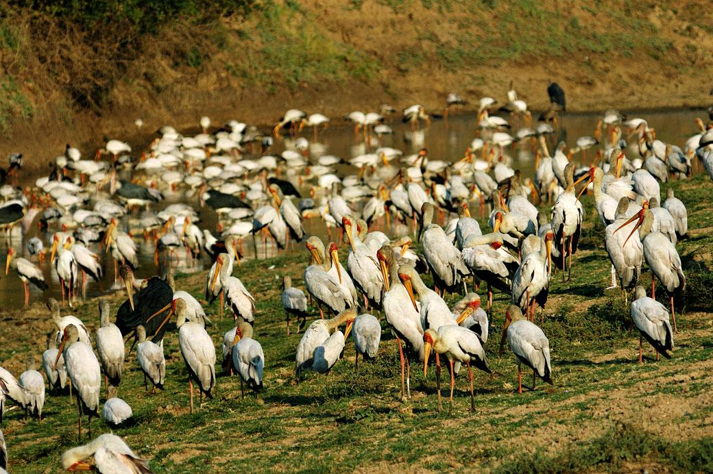 Groupe de nombreux Tantale ibis, Zambie