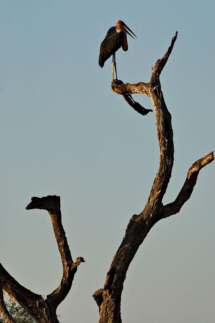 Marabout sur un arbre, Zambie
