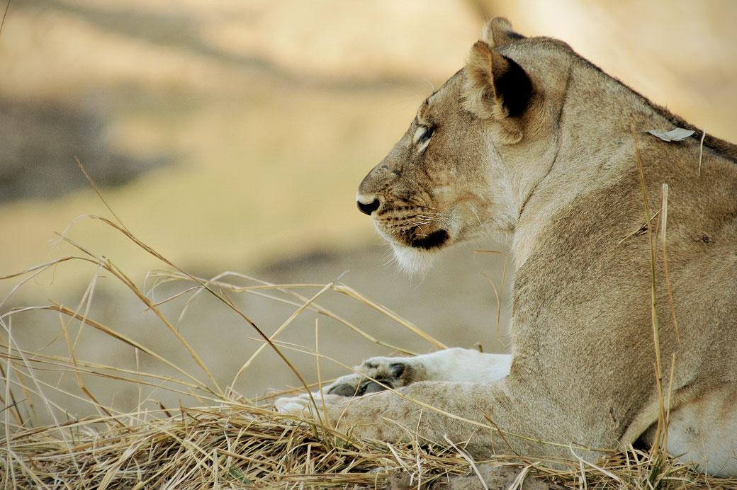 Lionne au repos avant la chasse, Zambie