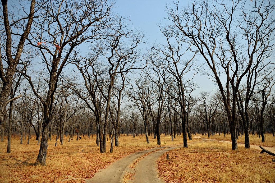Arbres dans le parc national du Sud Luangwa, Zambie