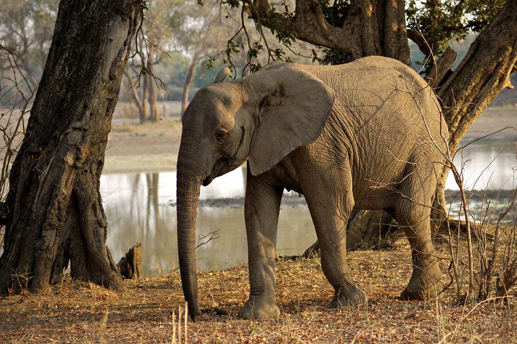 Jeune éléphant dans la vallée de la Luangwa, Zambie