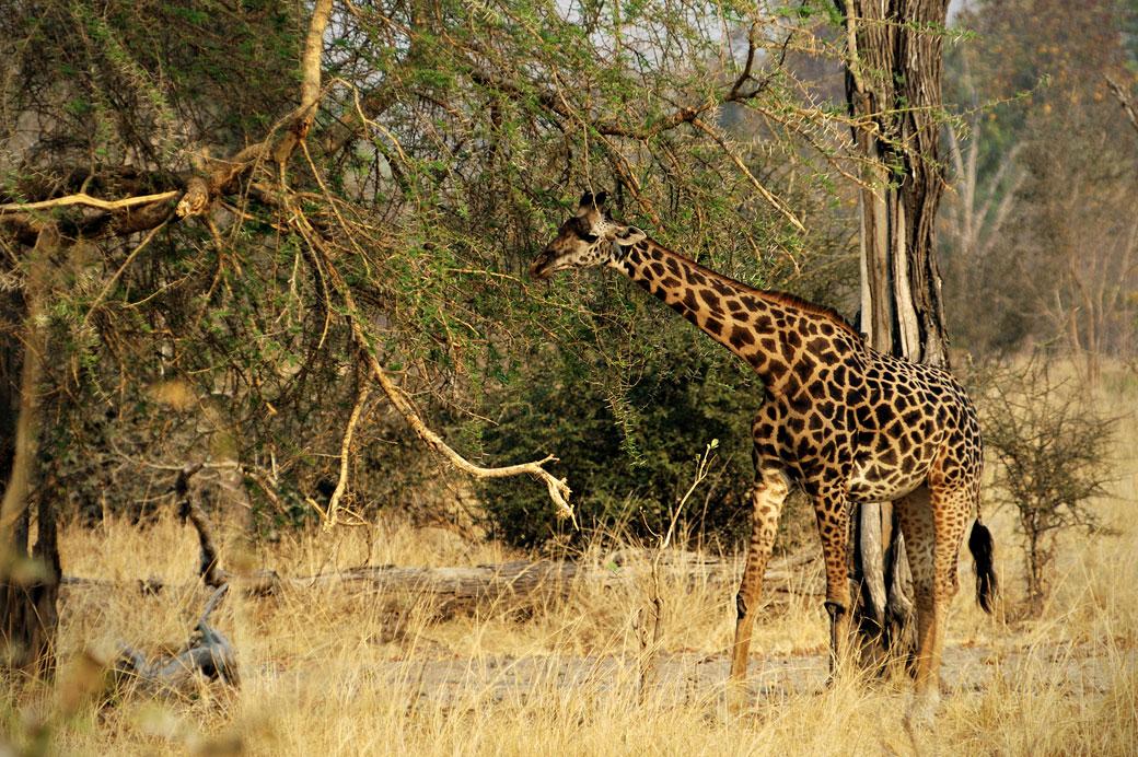 Girafe de Rhodésie dans la brousse, Zambie
