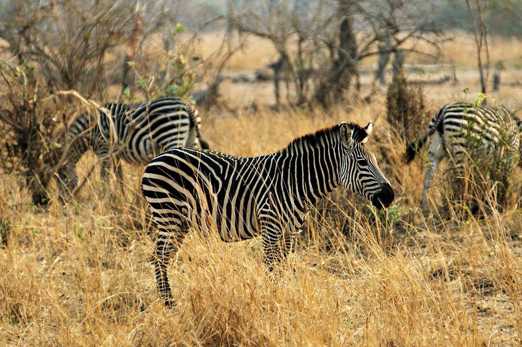 Zèbres de Crawshay dans la savane, Zambie