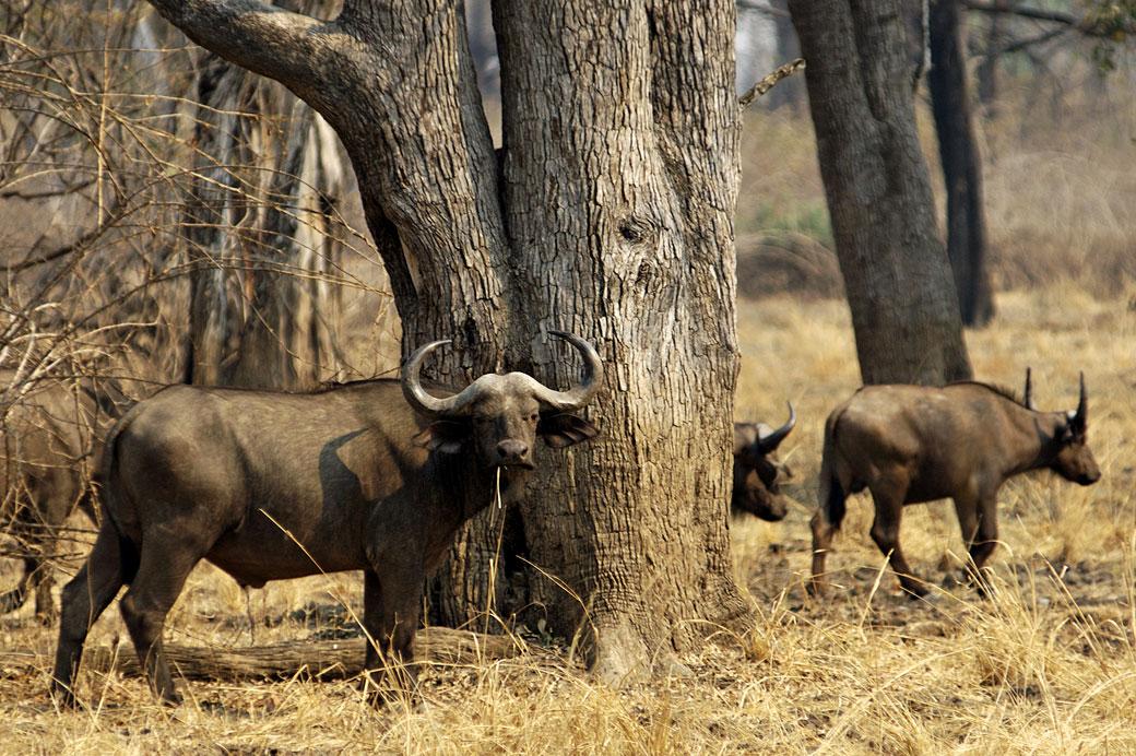 Buffles d'Afrique dans la vallée de la Luangwa, Zambie