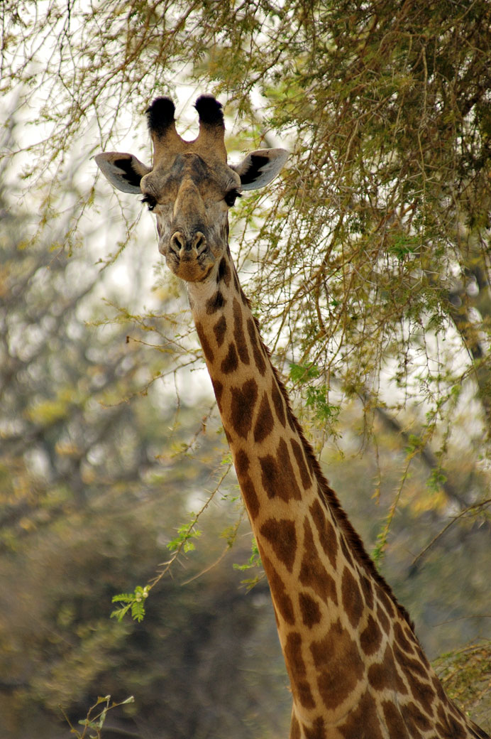 Zambie portrait d 39 une girafe de thornicroft curieuse for Prix d une girafe a poncer