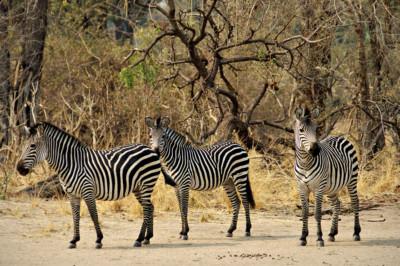 Trois zèbres de Crawshay, Zambie