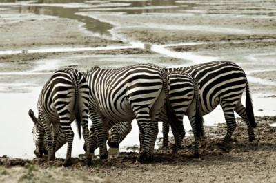 Quatre zèbres de Crawshay qui boivent, Zambie