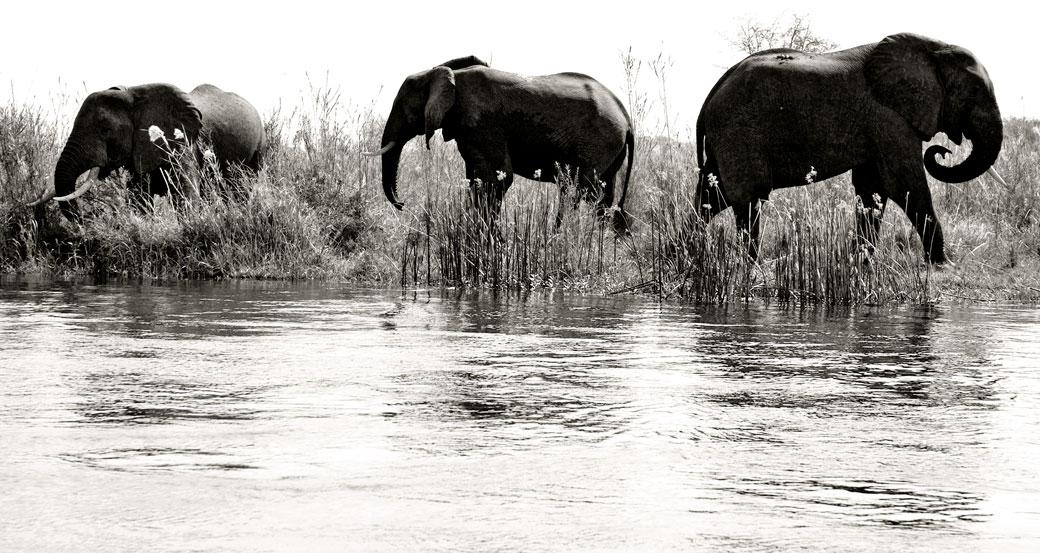 Eléphants d'Afrique au bord du fleuve Zambèze, Zambie