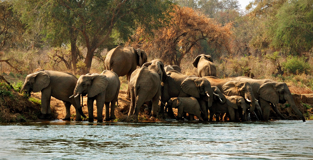 Groupe d'éléphants d'Afrique au bord du Zambèze, Zambie