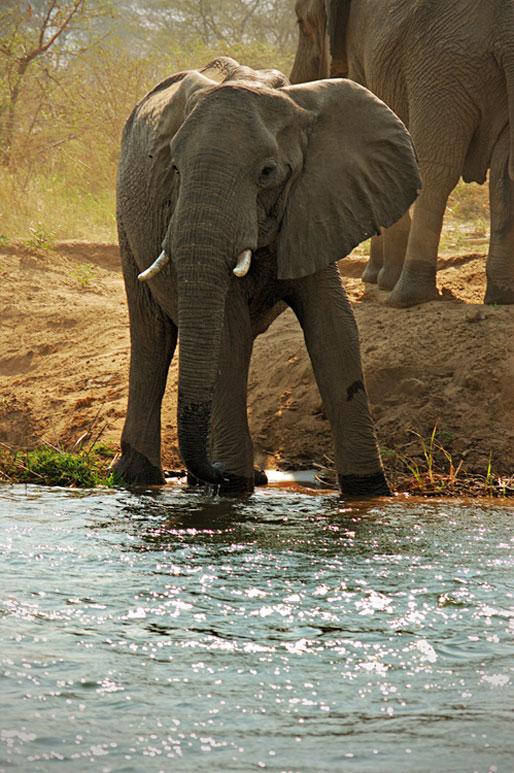 Jeune éléphant d'Afrique au bord du Zambèze, Zambie
