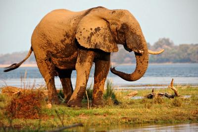 Un éléphant d'Afrique se rafraichit au bord du Zambèze, Zambie