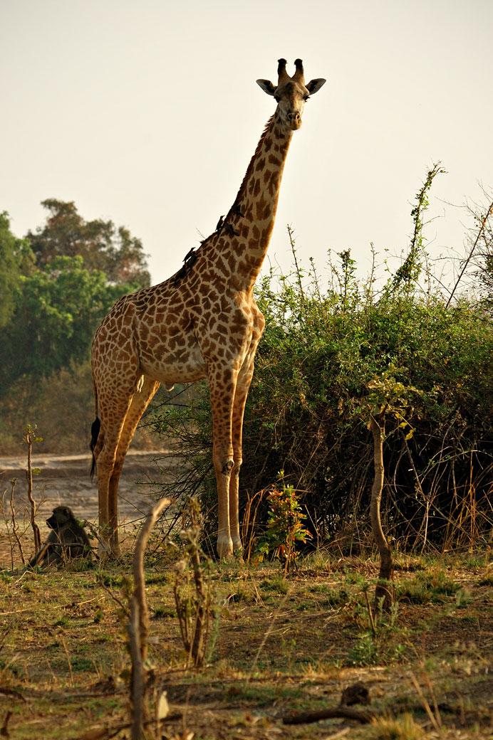 Girafe de Thornicroft curieuse, Zambie
