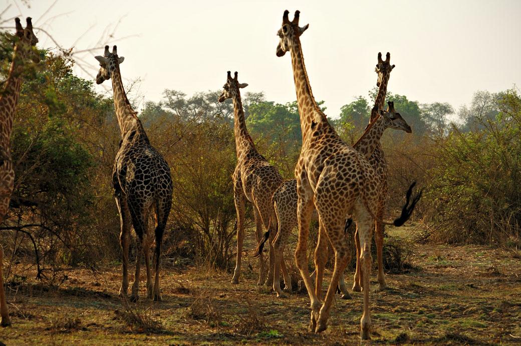 Groupe de girafes de Thornicroft, Zambie