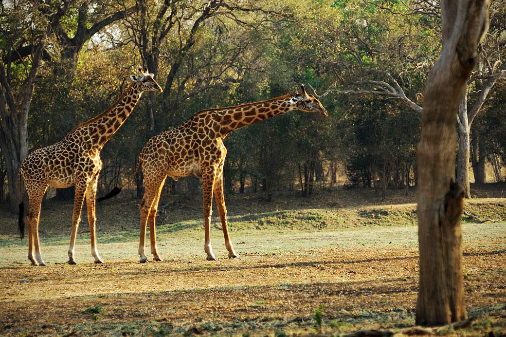 Duo de girafes de Rhodésie, Zambie