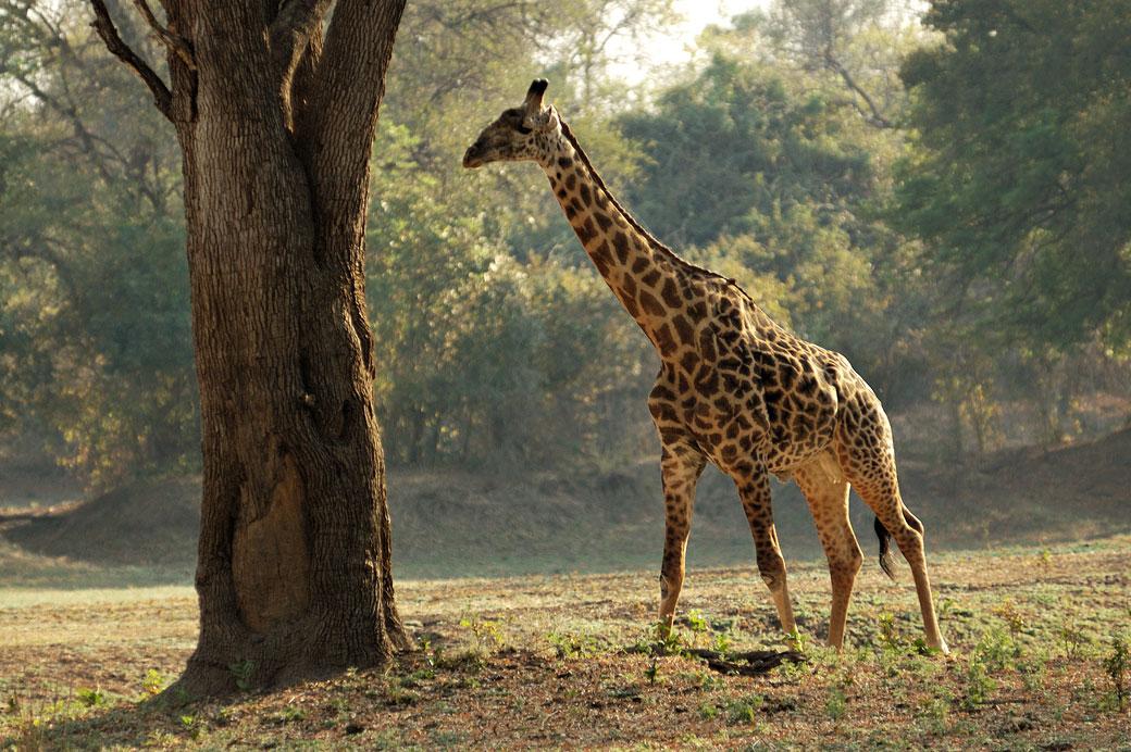 Girafe de Thornicroft près d'un arbre, Zambie