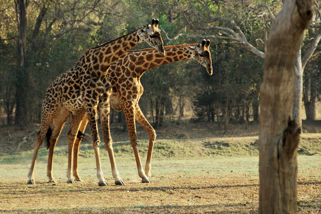 Couple de girafes de Thornicroft, Zambie