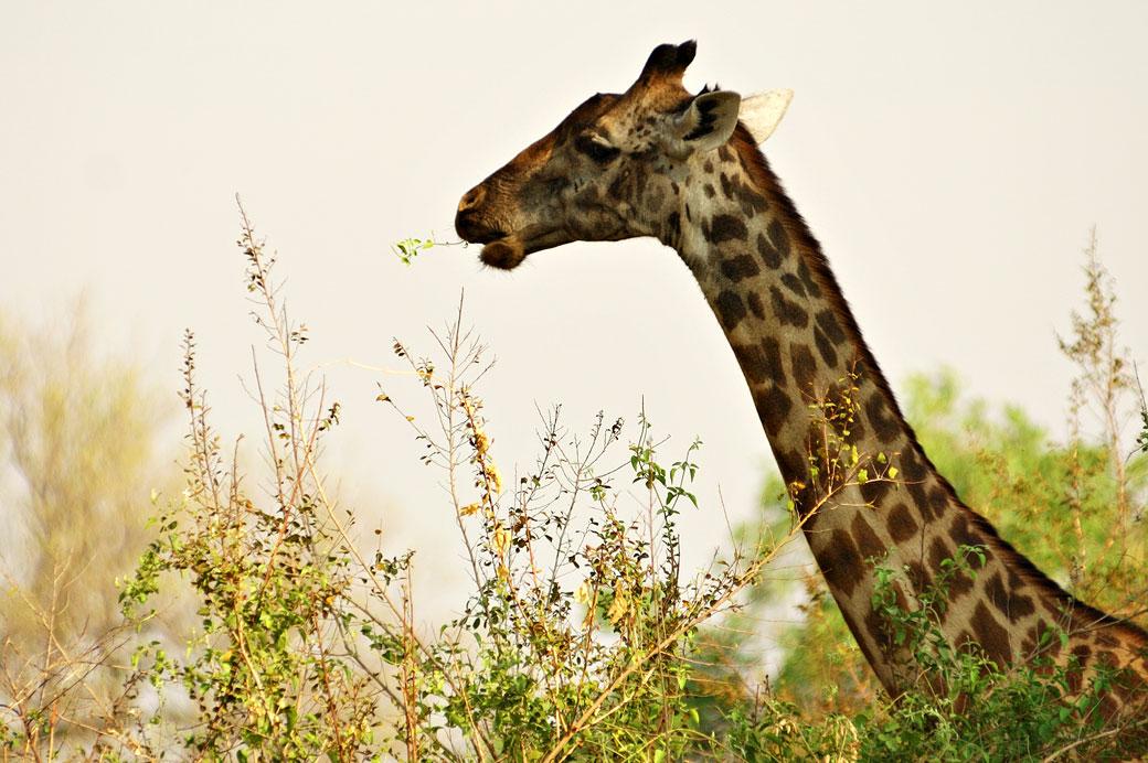 Girafe qui mange au dessus des arbres, Zambie