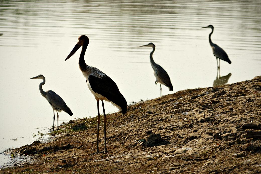 Oiseaux échassiers en quête de poissons, Zambie