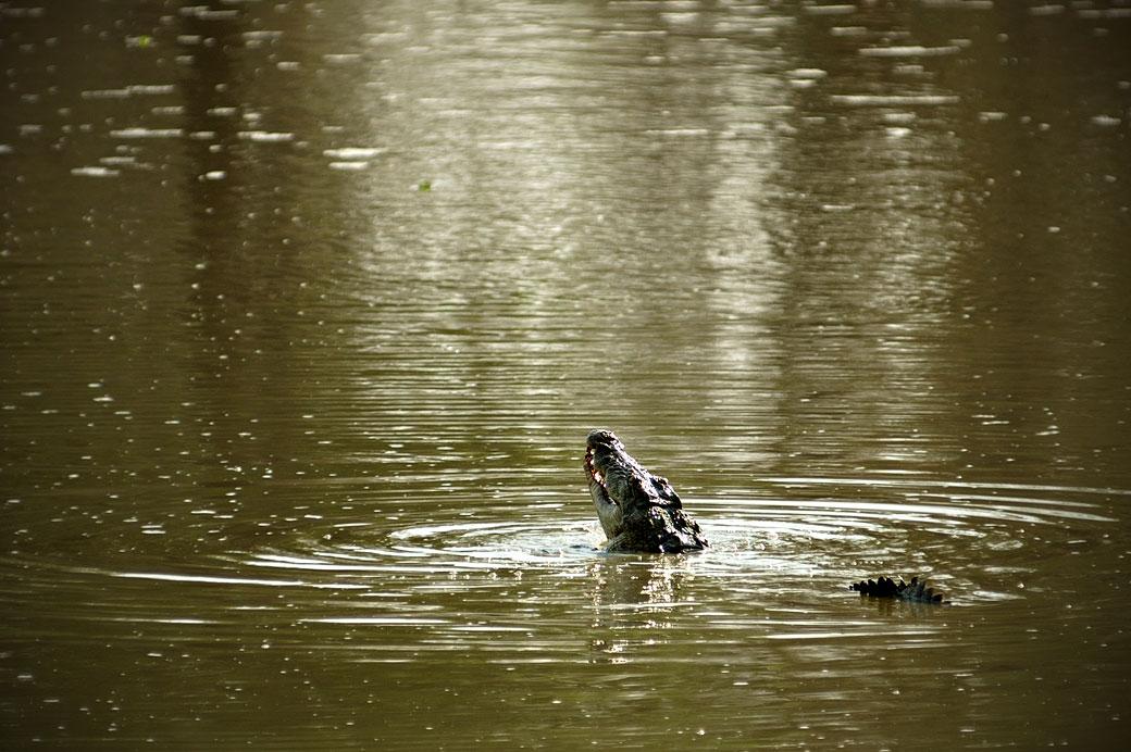 Crocodile dans la rivière Luangwa, Zambie