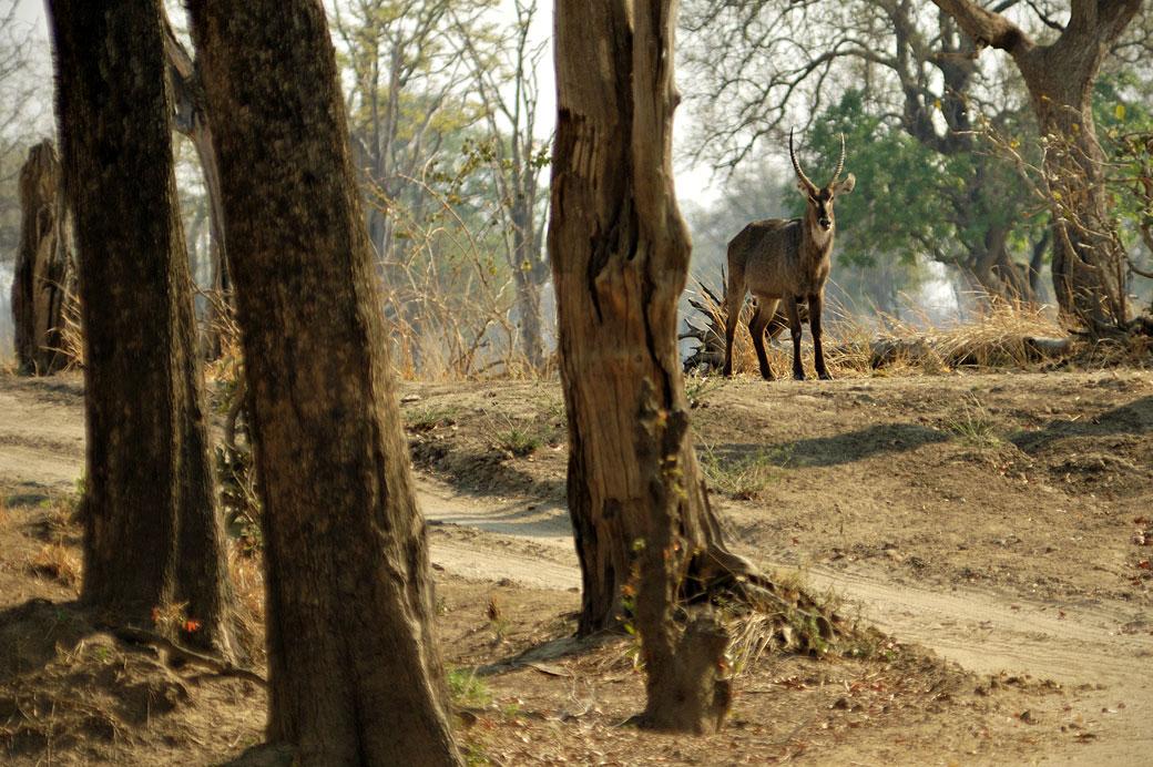 Cobe à croissant dans une forêt, Zambie