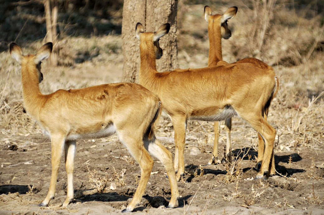 Trois antilopes Puku en alerte, Zambie