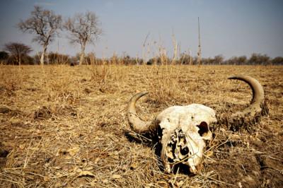 Crâne de buffle dans la brousse, Zambie