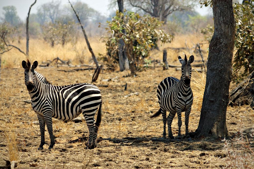 Zèbres de Crawshay, Zambie
