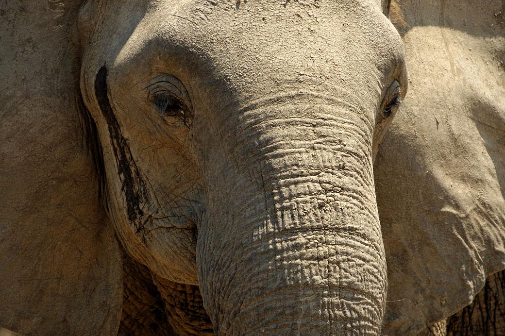 Tête d'éléphant en gros plan, Zambie