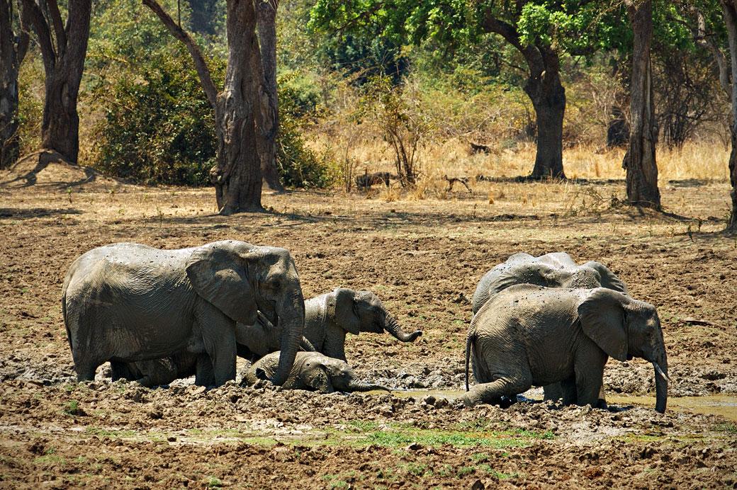 Bain de boue des éléphants, Zambie