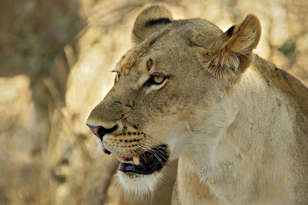 Portrait d'une lionne, Zambie