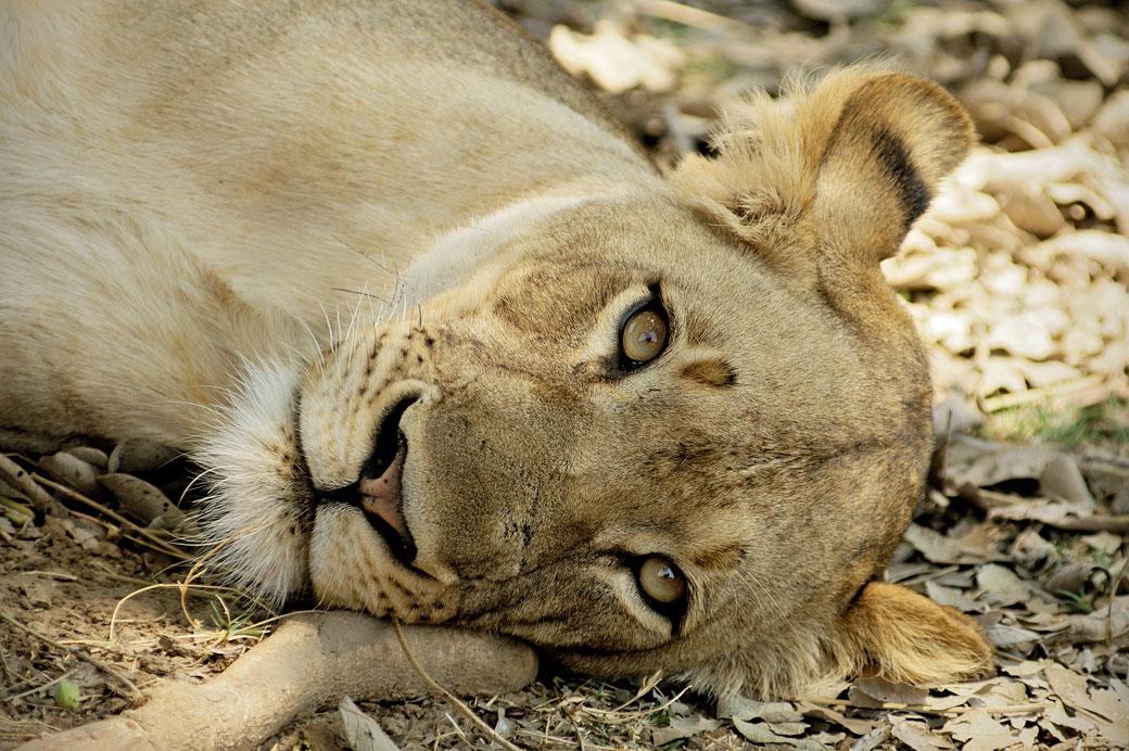 Portrait d'une lionne couchée, Zambie