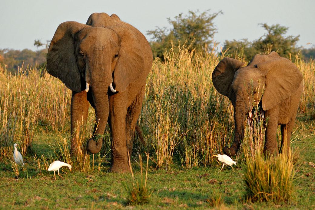 Maman éléphant et son petit dans la savane, Zambie