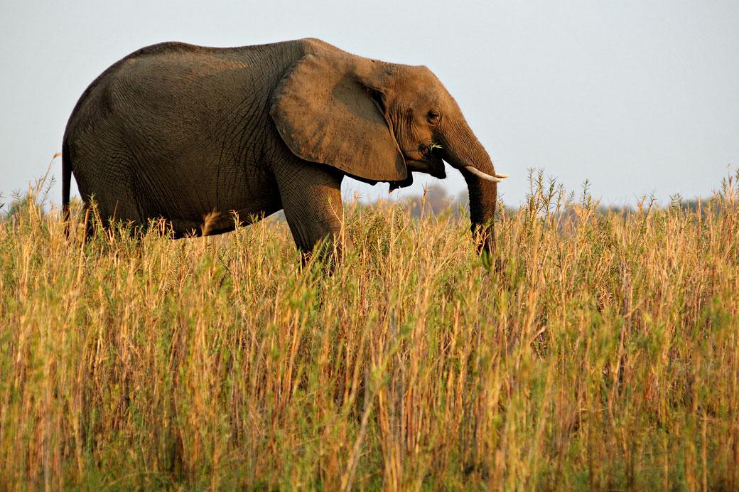 Éléphant d'Afrique qui mange dans la savane, Zambie