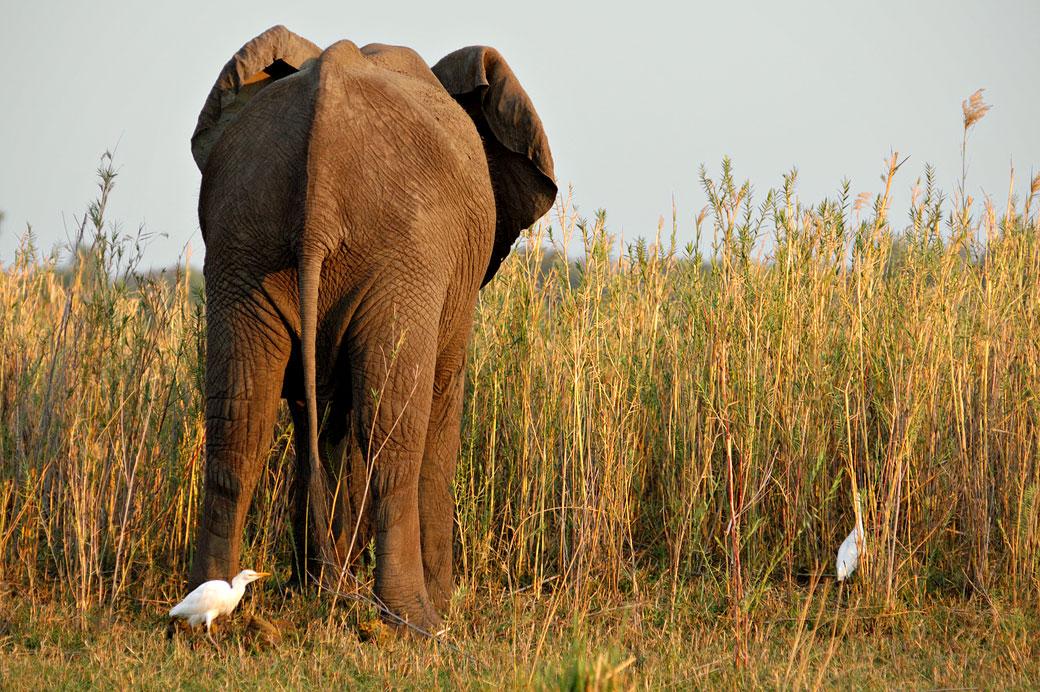 Éléphant d'Afrique vue de l'arrière dans la savane, Zambie